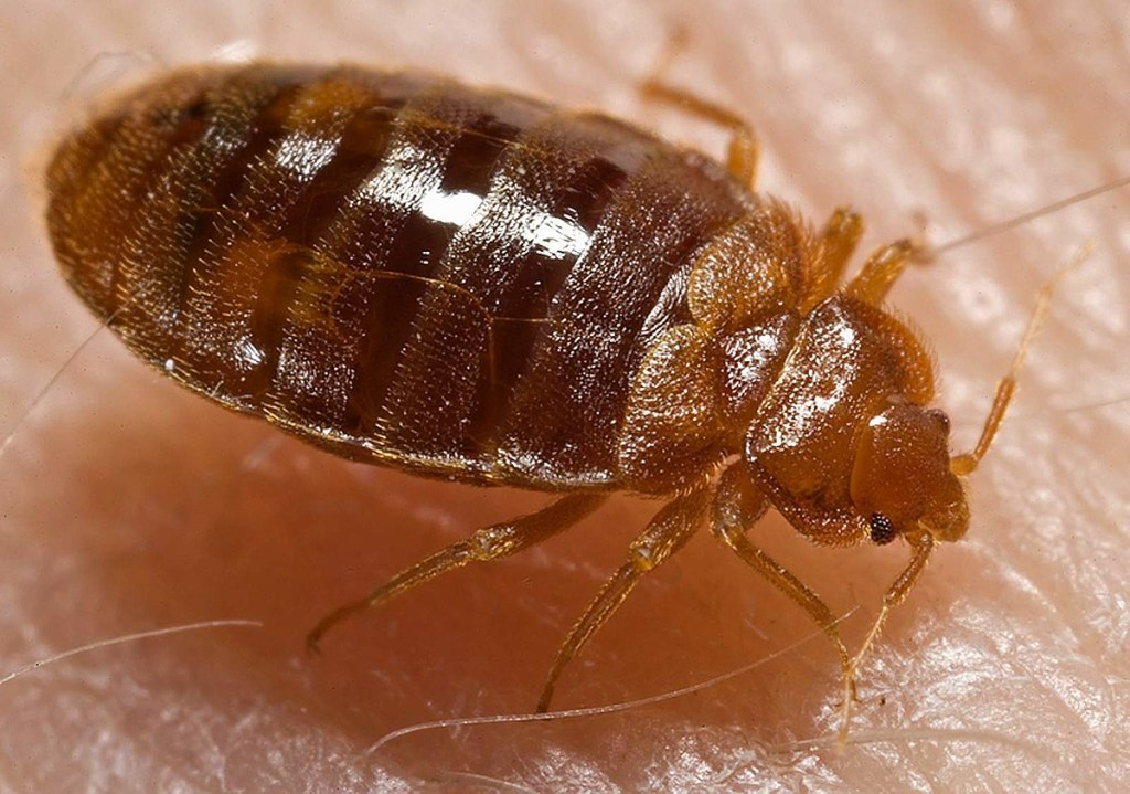 Bed Mites and Diseases